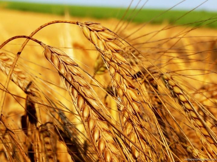 Mercato del grano: dieci anni di instabilità