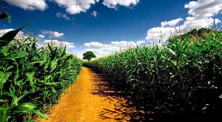 Un progetto europeo di ricerca che coinvolge anche l'Italia studia come proteggere il mais dagli stress idrici