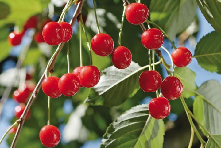Maltempo, in Toscana distrutti 1.000 quintali di ciliegie