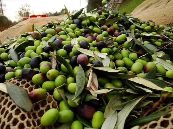 Olio, Confagricoltura: l'olivicoltura italiana merita rispetto