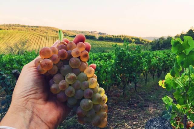 """Vendemmia, Confagricoltura Toscana """"Sfruttiamo quest'ottima annata per imporci anche sul mercato nazionale"""""""