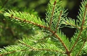 """Natale: l'appello di Confagricoltura """"Acquistate alberi veri"""""""