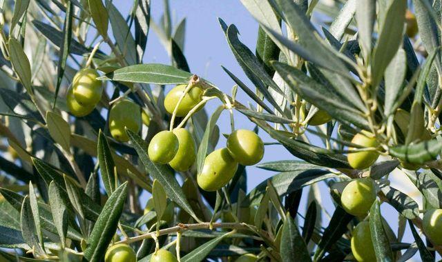 """Olio, annata nera: produzione in calo del 60 per cento. Il presidente di Confagricoltura Toscana, Miari Fulcis: """"Colpa del caldo e della siccità, ma la qualità sarà ottima"""""""