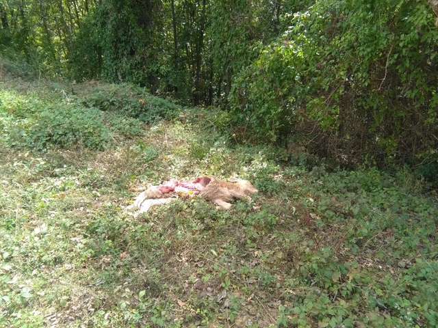 Un nuovo attacco dei lupi in Mugello, allevatori esasperati