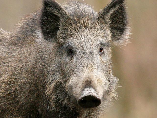"""Danni da ungulati, ad Arezzo gli agricoltori accusano i cacciatori: """"Si rifiutano di intervenire"""". """"Nessun miglioramento, legge poco applicata"""""""
