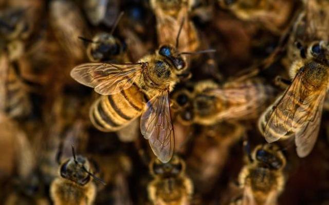 Agricoltura: l'allarme di Legacoop e Confcooperative Toscana, aiutare il comparto api, a rischio aziende e ambiente